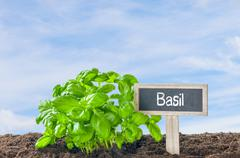 Basil in the garden with a wooden label - stock photo