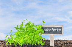 Italian Parsley in the garden with a wooden label - stock photo