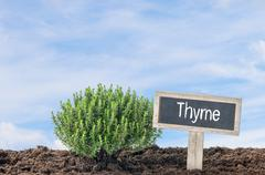 Thyme in the garden with a wooden label - stock photo