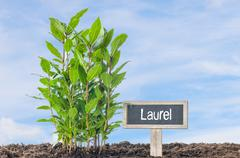 Laurel in the garden with a wooden label - stock photo