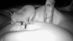 Red fox digging for food in deep snow - infrared Stock Footage