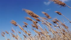 reeds swaying in strong winds in summer - stock footage