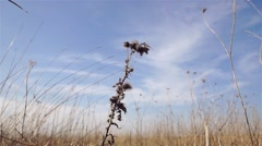 Withered on the sunny meadow thistle in the wind Stock Footage