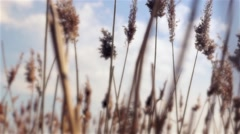 reeds swaying in the wind at the pond - stock footage