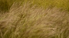 Grassland moving in the wind Stock Footage