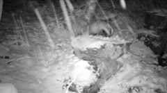 Badger visiting a wildlife feeding in a forest in winter  - infrared Stock Footage