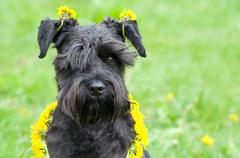 Dandelion Dog Stock Photos