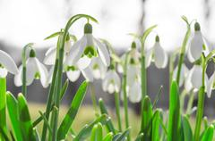 Sunlit beautiful blossom of snowdrops or galanthus on Alps glade Stock Photos