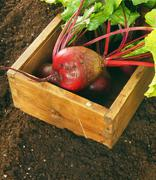 Harvesting. A beet in old box on earth. Stock Photos