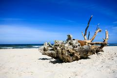 Extremely large piece of driftwood on the sandy beach Stock Photos