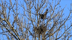 Crows ,raven, nest building in a tree, spring, sweet home Stock Footage