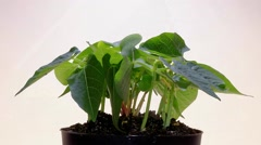 Natural selection: time lapse of green plant rotating - stock footage
