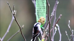 Tailed tit feeding,  peanuts, nuts, fat food Stock Footage