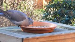 Wood pigeon, big, dove, feeding bird food - stock footage