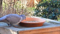 Wood pigeon, big, dove, feeding bird food Stock Footage