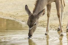 Female Greater Kudu drinking water Stock Photos