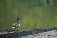 Wild duck Kuvituskuvat