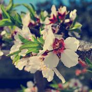 Almond tree in full bloom, with a filter effect Stock Photos