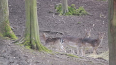 Fallow-deer females and fawns eate straw, look to the camera and then run away Stock Footage