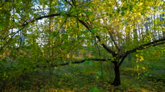 Autumn Forest In Bright Colors. Tracking Shot - stock footage
