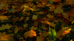 Yellow Autumn In Deciduous Tree Forest - stock footage