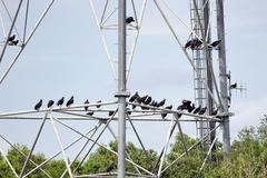 Black vultures Stock Photos