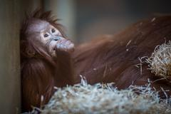 Stare of an orangutan baby, hanging on thick rope. A little grea - stock photo