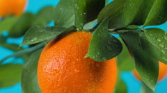 Ripe orange on  branch Stock Footage