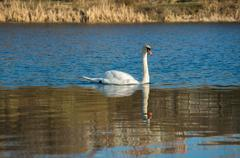 white swan on autumnal blue pond - stock photo