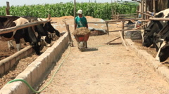 Farm Worker Feeds Cows on a Dairy Farm, Ranch - stock footage