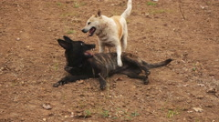Two dogs playing Stock Footage