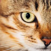 Close Up Portrait Tabby Male Kitten Cat Stock Photos