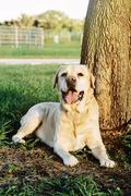 Panting dog sitting under tree Stock Photos