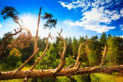Windfall In Forest. Storm Damage. Fallen Trees In Coniferous For - stock photo