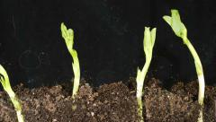 Time Lapse Footage Bean Seed Germination - stock footage