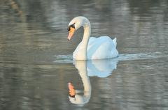 Noble White Swan Stock Photos