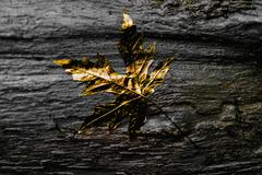 Close up of gold leaf on wet wooden log Stock Photos