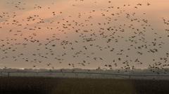 A Large Flock of Ducks In Flight Stock Footage