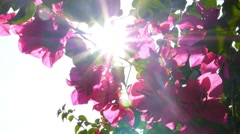 Beautiful Pink Flowers in Garden in Sun Rays. Slow Motion Stock Footage
