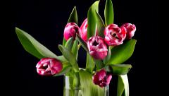 Tulips blooming time lapse Stock Footage