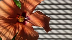 Orange hibiscus next the window Stock Footage