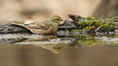 Beautiful bird Yellowhammer bathing in a forest pond, Emberiza citrinella Stock Footage