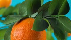 Ripe orange on  branch Stock Footage