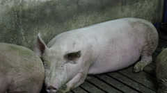 Swine Flu - stock footage