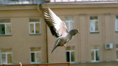 Flying pigeon, slow motion  1500 fps, CU - stock footage