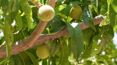 Pan of white peach tree Stock Footage