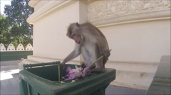 Female toque macaque rifling through a bin at a temple Stock Footage