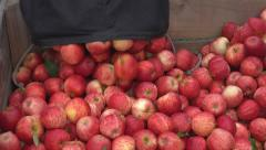 Picked royal gala apples being placed in to a fruit bin close Stock Footage