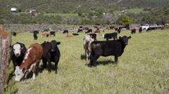 Cows staring at camera Stock Footage