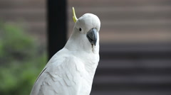 Cockatoo Parrot Stock Footage
